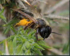 Mining bee Andrena sp Dumfries & Galloway ©Valerie Harrison 2012