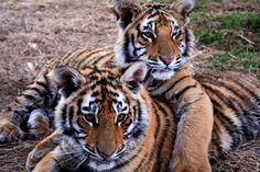 A group of tigers is called a streak