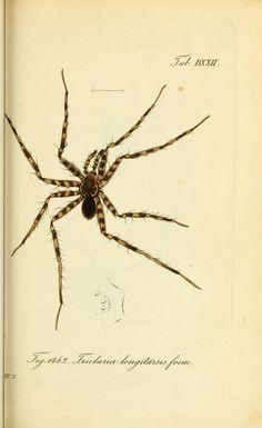 Triclaria longitarsis foem. Die Arachniden. bd. 14-16 (1848) plates 469-563. Nürnberg :In der C. H. Zeh'schen Buchhandlung,1831-1848. Biodiversitylibrary. Biodivlibrary. BHL. Biodiversity Heritage Library