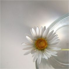 My favorite flower.  The Daisy.  I shall find a field of them one day and dance in it.