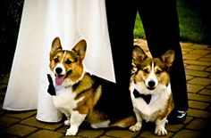 How sweet are these corgis?!?