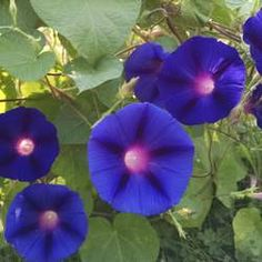 Ipomoea Purpurea Grandpa Otts Morning Glory Seed For