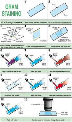 Step by step of gram staining laboratory science laboratory science Biology Classroom, Biology Teacher, Ap Biology, Science Biology, Teaching Biology, Science Education, Forensic Science, Life Science, Computer Science