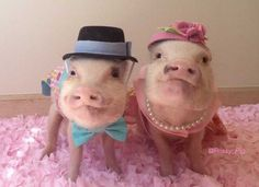 Adorable celebrity pigs Priscilla and Poppleton!