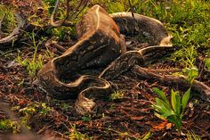A python spotted devouring a Nyala! Best Blogs, Predator, Python, Snake, Cold, Animals, Animales, Animaux, Animal Memes