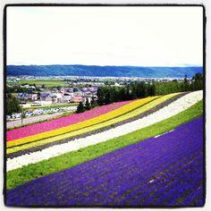 Tomita Lavender Farm