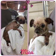 New York, NY - RESCUE DOGS ROCK NYC - Shih Tzu. Meet MICA, a dog for adoption. http://www.adoptapet.com/pet/16033218-new-york-new-york-shih-tzu