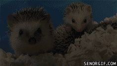 Baby. Hedgehogs. Yawning. Are. The. Best.