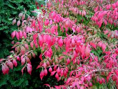 Vingbenved, Euonymus alatus. Vingbenveden lyser i en fantastisk ceriseröd höstskrud så fort nätterna blir lite kallare. Zon 5.