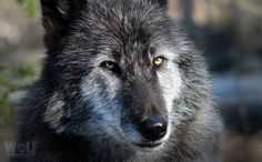 Take Action ! Today a single black wolf is the lone survivor ---> Follow Link, click photo.
