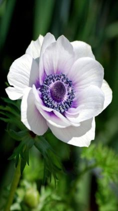 Advice on everything gardening Botanical Flowers, Flowers Nature, Exotic Flowers, Amazing Flowers, Beautiful Roses, White Flowers, Beautiful Flowers, White Anemone Flower, Yellow Roses