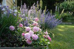 Bland pioner och rosor: Kantnepeta