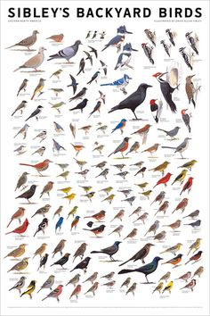 I am an amateur birder. Very amateur. But I can tell local birds by song, by sight, by flight pattern. My neighbours are amused when I wander into their yards to get a better look at 'who is making that beautiful song'.