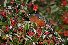 American Red Robin Snow | American Robin With Tasty Red Berries at Tisdall Park in Vancouver BC ...
