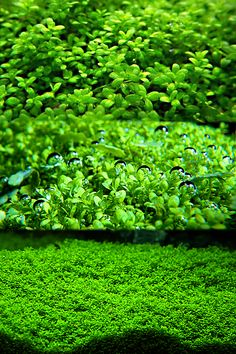 - Posts tagged Endless list of favorite aquatic plants Freshwater Aquarium Plants, Tropical Fish Aquarium, Nano Aquarium, Planted Aquarium, Freshwater Fish, Aquarium Ideas, Fly To Cuba, Aquarium Maintenance, All About Water
