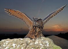 European Eagle Owl with wings spread | Flickr - Photo Sharing!