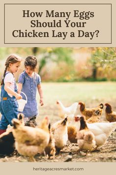How many eggs does a chicken lay in a day? A simple question, with a slightly complicated answer. When planning your flock one important consideration is egg production. If you are keeping chickens for their eggs, you'll need to know how many birds you'll need to provide for your family. #homesteading #backyard #backyardfarm #hobbyfarm #farm #farmlife #chickens #eggs #egg #DIY Chickens, Guineas, Poultry & Foul