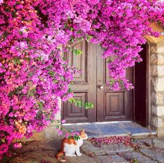 Bougainvillea, a cat and a lovely door - that's perfection! Knobs And Knockers, Door Knobs, Old Doors, Windows And Doors, Porches, Beautiful Flowers, Beautiful Places, Pergola, Entrance Ways
