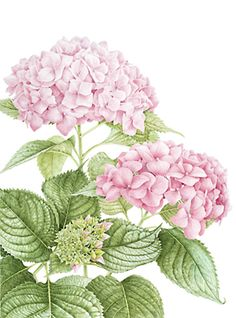 Hydrangea art print Vintage botanical prints garden wall art home . Hydrangea Macrophylla, Hortensia Hydrangea, Pink Hydrangea, Hydrangeas, Art And Illustration, Illustrations, Botanical Flowers, Botanical Prints, Botanical Gardens