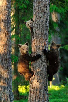 Brown bear cubs climbing on a tree - Brown bear cubs practicing climbing on a tree deep in the primeval forest. Grizzly Bear Cub, Bear Cubs, Polar Bear, Panda Bears, Tiger Cubs, Tiger Tiger, Bengal Tiger, Cubs Tattoo, Tattoo Sun