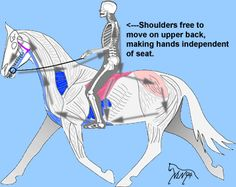 """The """"circle"""" or """"loop of aids"""" and the independent seat are important for gymnastic development of a horse. This seat rides a horse continually, elastically """"toward the bridle"""" from leg and pelvis. Muscles in pink are primarily influenced by seat while those in blue are strongly influenced by leg aids. Division of labor (dancer's isolation of muscle actions) in a rider's body takes practice: relaxation and patience are important. The seat is very complex."""