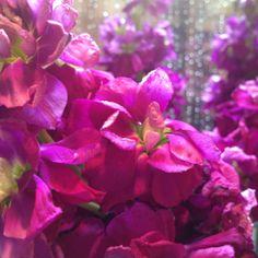 Purple stock flowers