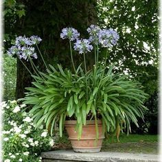 Agapanthus: care and overwintering - garten - Design RatBalcony Plants tan Furniture Agapanthus In Pots, Garden Care, Edible Garden, Garden Pots, Balcony Gardening, Container Plants, Container Gardening, Gardens, Succulents