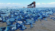 Pictures: Billions of Blue Jellyfish Wash Up on California Beaches