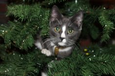 Goofy Cat is up the Christmas Tree! » Dusty Duder! » photo by cure_kitty