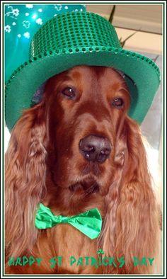Ruairi's Irish Setters, ready to party~~