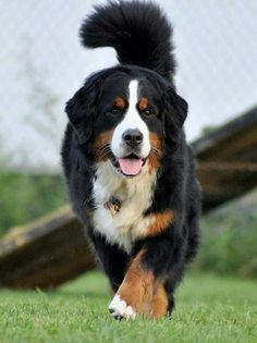 Best Pictures bernese mountain dogs st bernard Strategies For over a long time, the Bernese Mountain / hill Canine is really a cornerstone involving village dail Big Dogs, I Love Dogs, Cute Dogs, Dogs And Puppies, Doggies, Beautiful Dogs, Animals Beautiful, Cute Animals, Bermese Mountain Dog
