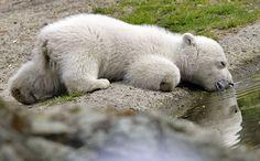 Knut, polar bear cub from Germany