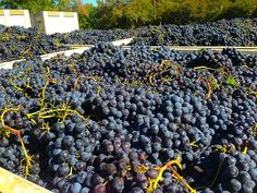 Our Syrah is ready to be turned into some good wine! Mmmmm