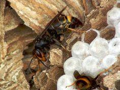 vespa velutina en interior del nido