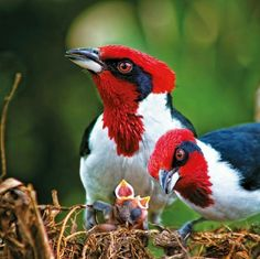 Masked Cardinals (Paroaria nigrogenis).  This cardinal is found in Trinidad, north-eastern Colombia and northern Venezuela.