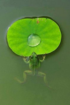 "Frog: ""His Natural Green Table is Set Before Him."""