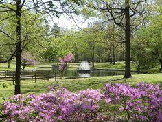 Bryan Park in Richmond, VA. Azalea's in spring.