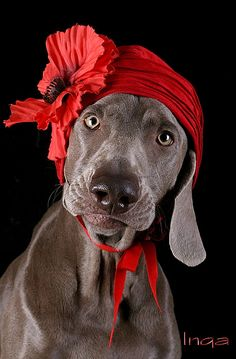 after Van Dongen's corn poppy. Dog Photos, Dog Pictures, Animal Pictures, Weimaraner Puppies, Dogs And Puppies, Vizsla, Beautiful Dogs, Animals Beautiful, I Love Dogs
