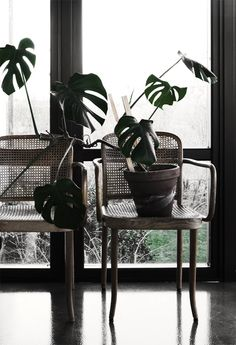 split leaf philodendren - by Daniella Witte Cane Back Chairs, Tropical, Flower Pictures, Green Plants, Small Gardens, Indoor Plants, House Plants, Interior Inspiration, Home Furniture