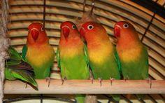 Agaporniden Lovebirds Pfirsichköpfchen