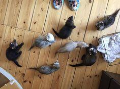 My everything.. #love #fritte #ilder #frettchen #rawfeeding #ferretfun #ferret #animal #pet #furao #ferrets #babies #furet #ferretlove #ferretgram #ferretinsta #fuzzy #fuzzbutt #ferrettime #amazingpet #instaanimal #instapet #ferrets #pets #iloveferrets #animals #animallovers #ferretism #carpetsharks #ferretsofinstagram @ferretism @ferret.pics @ferret.fun