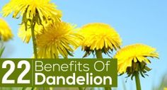 22 Amazing Benefits Of Dandelion For Skin, Hair And Health. Helps aid in weight loss! Dandelion Oil, Dandelion Benefits, Cardio Plus, Bath Benefits, Fun Moves, Healthy Fiber, Lipid Profile, Tight Tummy, Heart Healthy Diet