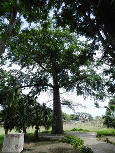 Ceiba plantada por la familia de Alma Flor el 10 de abril de 1920 San Francisco, Plantar, My Life, Journey, In This Moment, Island, Photos, Flower, Dual Language