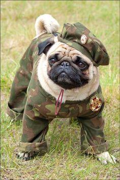 Army pug.