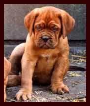 Dogue de Bordeaux  (French Mastiff Puppies)