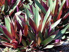 O abacaxi-roxo é uma planta herbácea, rizomatosa, de folhagem perene e colorida, cultivada em diferentes regiões tropicais do mundo por suas qualidades como ornamental. Ela forma rosetas densas e simétricas,…Leia mais ›