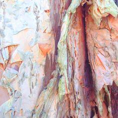 Paperbark Eucalypt