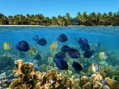 Snorkeling in Panama with a school of tropical fish in a coral reef and a beach with coconuts trees and an hotel in background