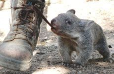 I didn't even know what a wombat it! Australian [extremely cute and innocent looking] animal! Cute Wombat, Baby Wombat, Animals And Pets, Baby Animals, Funny Animals, Cute Animals, Beautiful Creatures, Animals Beautiful, Funny Animal Pictures