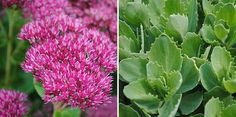 Sedum spectabile 'Brillant' Sedum spectabile 'Brillant'